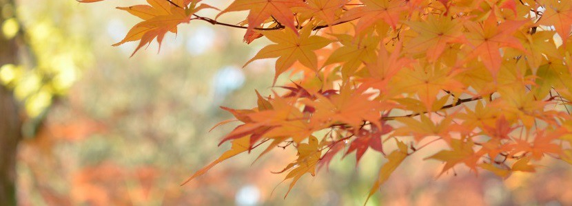 kyoto-autumn_leaves831x300-830x300